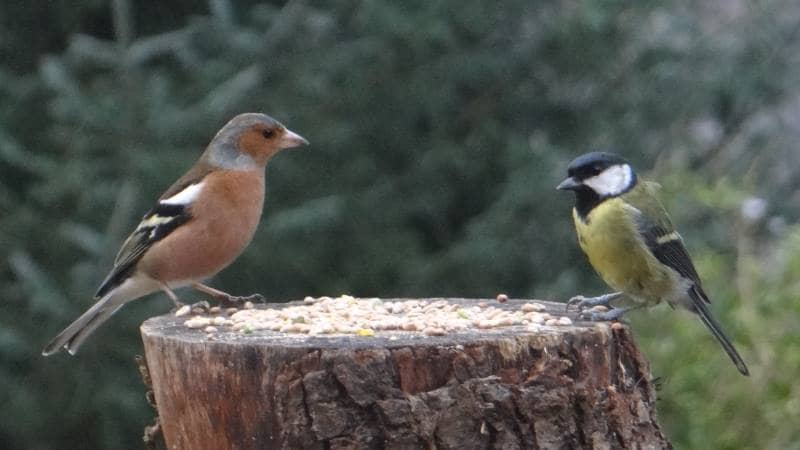 Birds on Annagh More -Chaffinch and Great Tit