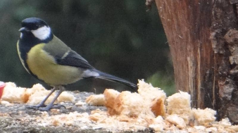Birds on Annagh More -Great Tit
