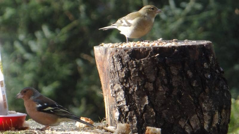 Birds on Annagh More -Chaffinch couple