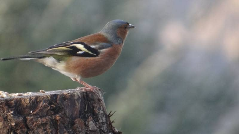 Birds on Annagh More -Chaffinch