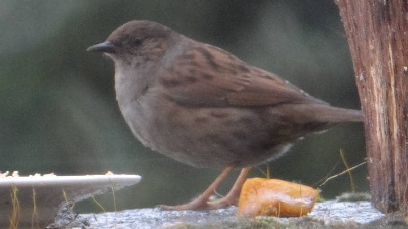 Birds on Annagh More -Dunnock