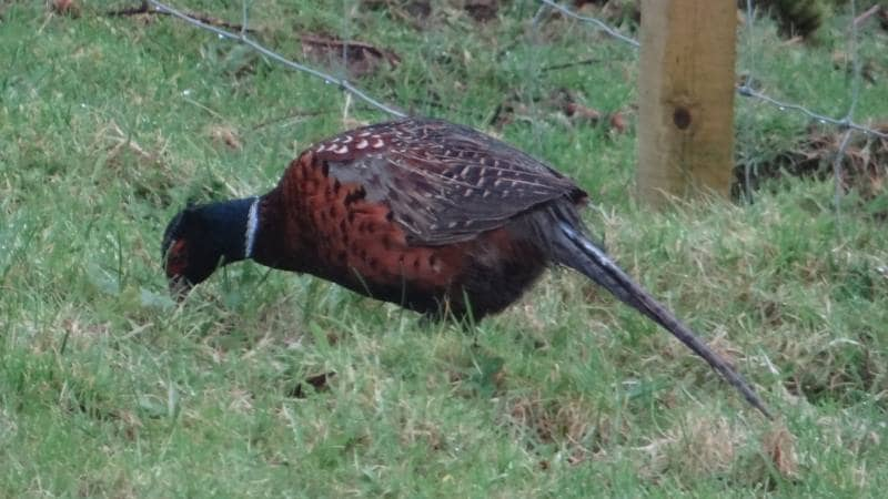 Birds on Annagh More -Pheasant