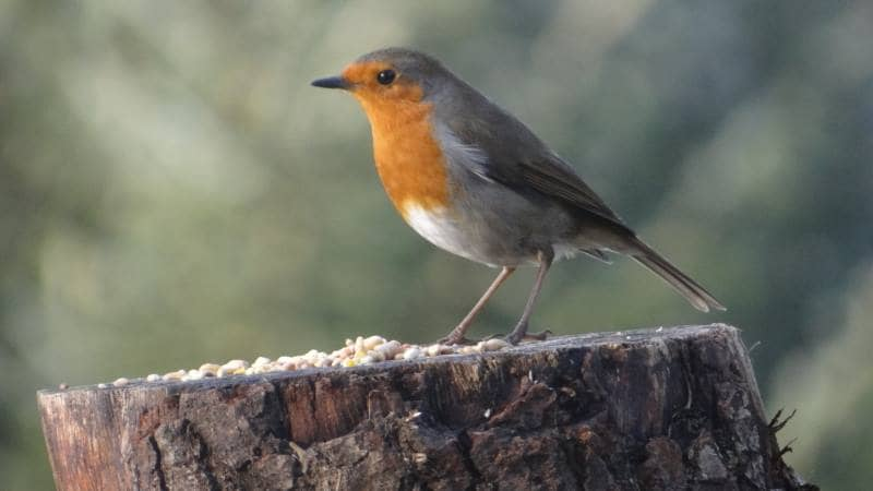 Birds on Annagh More -Robin